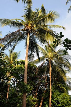 Coconut tree with golden nuts opposite blue sky Stock Photo
