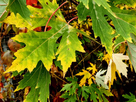 beautiful background of maple leaves