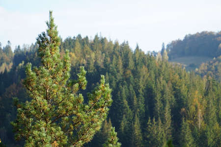 Green mountains covered with conifers