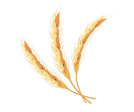 Wheat ears, oats or barley isolated on a white background. Natural ingredient element. Healthy food or agriculture or crop theme. Realistic 3d illustration.  イラスト・ベクター素材