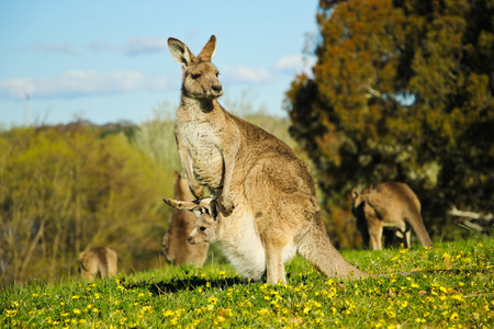 Mommy Kangaroo in the field Stock Photo