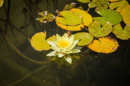 Lotus flower white water lily of many petals 스톡 콘텐츠