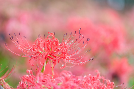 spider lily: Spider Lily in morning dew