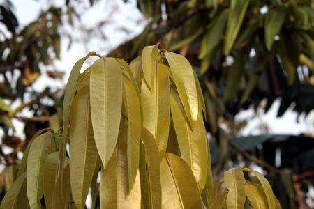 Mango new tree