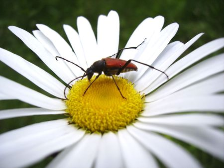 Red bug on a camomile flower Stock Photo