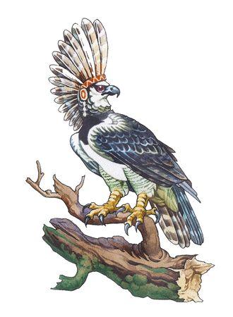Harpy Eagle (Harpia harpyja), sometimes known as the American Harpy Eagle