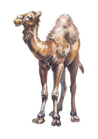 humped: Arabian camel or Dromedary (Camelus dromedarius)