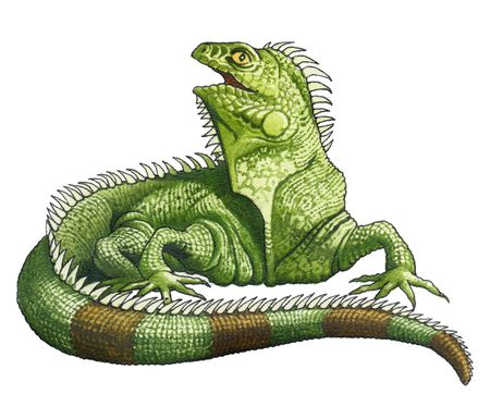 The greatest in the world iguana