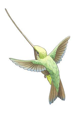 teeny: hummingbird_4  Stock Photo
