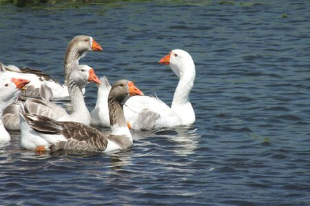 Herd of geese