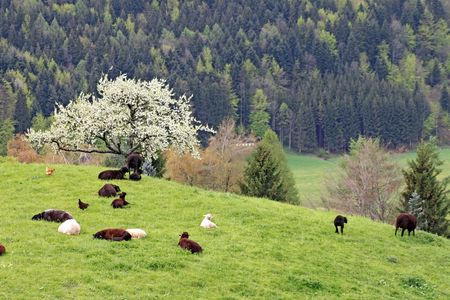 Sheep on a mountain pasture in the spring