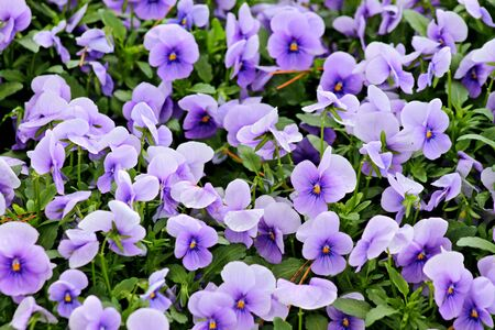 Flower bed of pansies Stock Photo