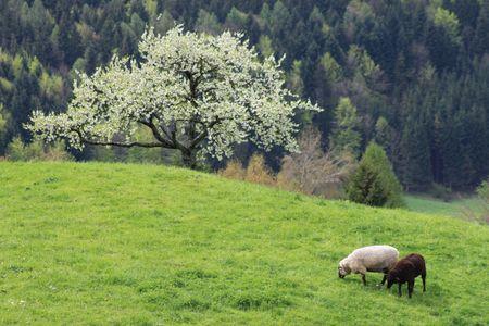 Sheep on a mountain pasture_4 Stock Photo