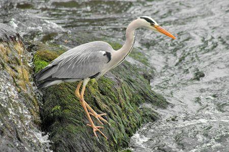 Grey Heron_1 Stock Photo