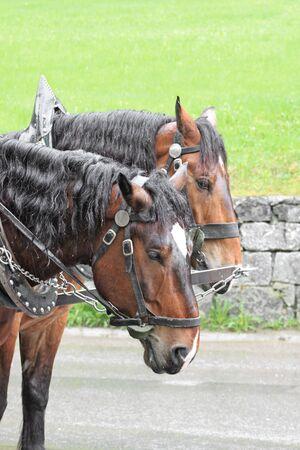 Pair of horses_2 Stock Photo