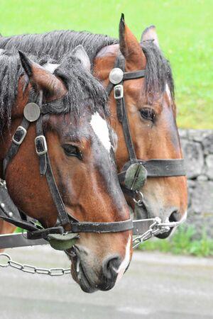 Pair of horses_1