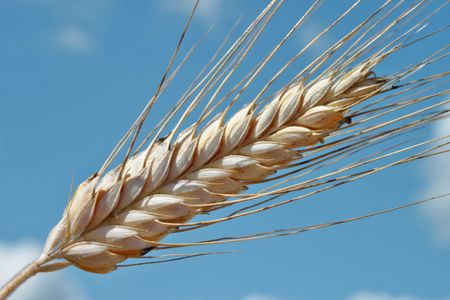 Barley ear (Raw materials for beer) Stock Photo