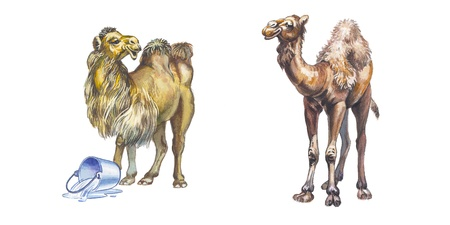 quench: Arabian camel or Dromedary and Bactrian camel Stock Photo