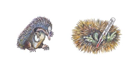 grippe: Echidna (Spiny Anteater)