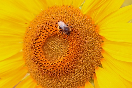 gather: The bee gather nectar on sunflower  Stock Photo