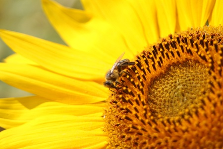The bee gather nectar on sunflower  Stock Photo