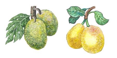 Jackfruit and Breadfruit