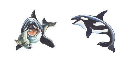 Killer whale Stock Photo - 12851799