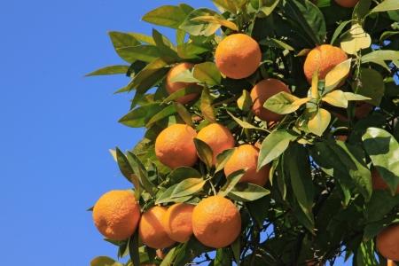 oranges on branch on background blue sky
