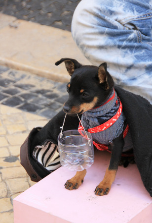 Young beggar musician with small cute dog play accordion and ask for money on street of Lisbon, Portugal at November, 2013  Stock Photo