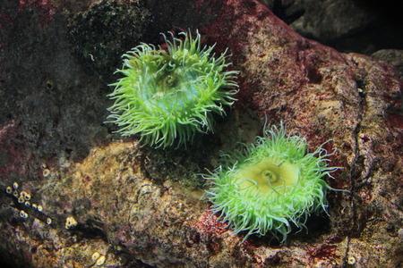 Colony anemone on the ocean floor