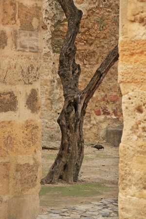 Old olive in Castle of Sao Jorge  Lisbon, Portugal  Stock Photo
