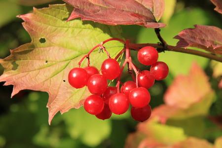 guelder rose berry: Guelder-rose (viburnum, snowball tree)