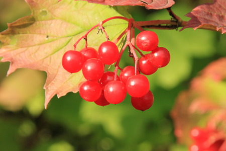 guelderrose: Guelder-rose (viburnum, snowball tree)