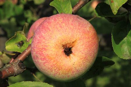 Apples on the tree