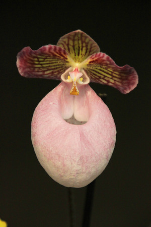 lady slipper: Lady Slipper Orchid