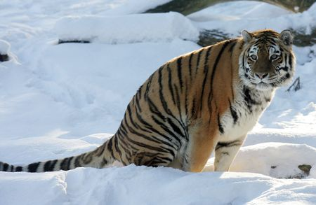 Tiger sitting on a snow photo