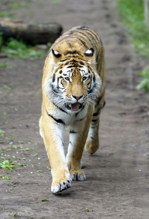 Tiger walk.  Stock Photo