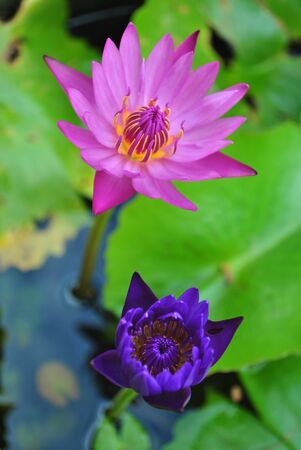 lotus,thailand Stock Photo