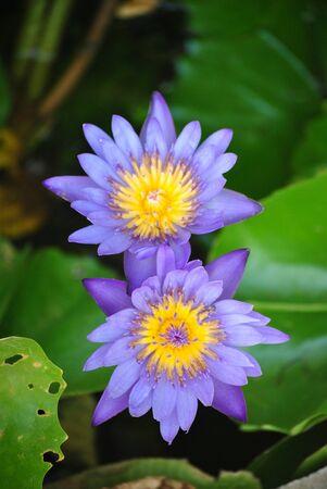 lotus,thailand Stock Photo