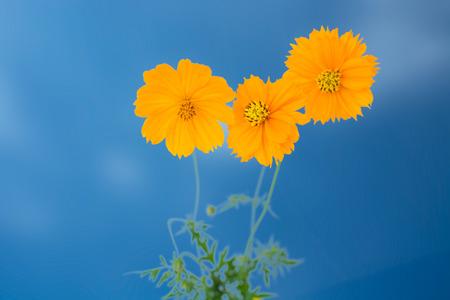 Yellow Cosmos Blume auf den blauen Himmel Standard-Bild - 31650886
