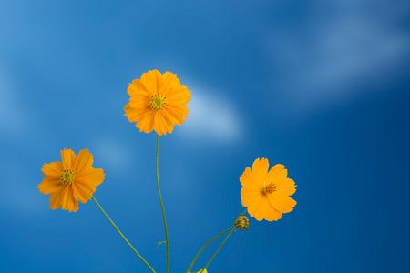 Yellow Cosmos Blume auf den blauen Himmel Standard-Bild - 31650882