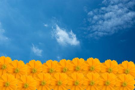 Yellow Cosmos Blume auf den blauen Himmel Standard-Bild - 31650884