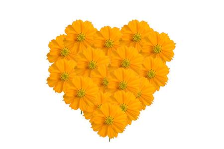 Yellow Cosmos Herz Blume isoliert auf den weißen Hintergrund Standard-Bild - 31652364