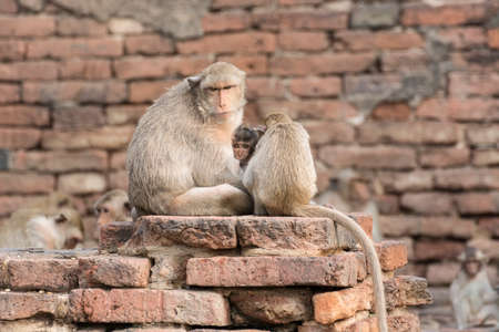 Der Affe Familie lebt in der Altstadt Standard-Bild - 32606759