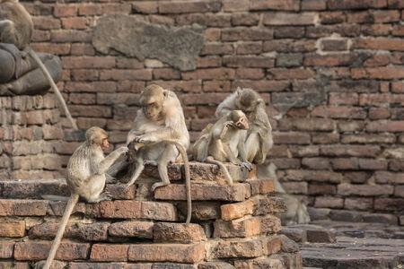 Der Affe Familie lebt in der Altstadt Standard-Bild - 32606847