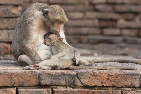 Der Affe stillen ihr Baby. Standard-Bild - 32606855