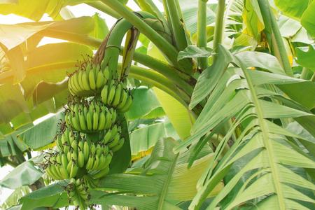 Bananenstaude, Jahrgang Filter Standard-Bild - 48217433