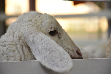 long: Sheep long ears