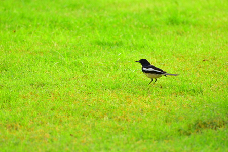 magpie: magpie on the grass Stock Photo