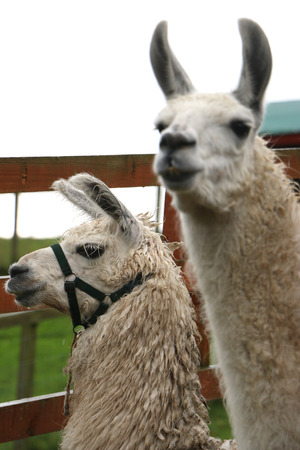 reigns: Llama